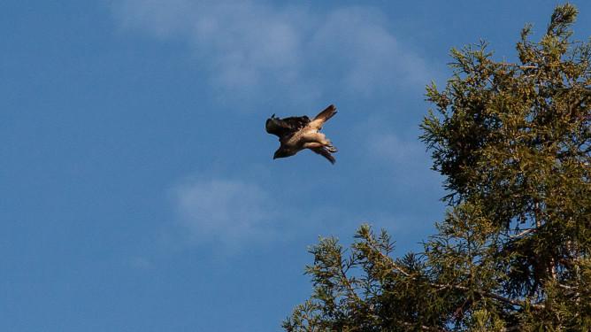 Eagle-1559