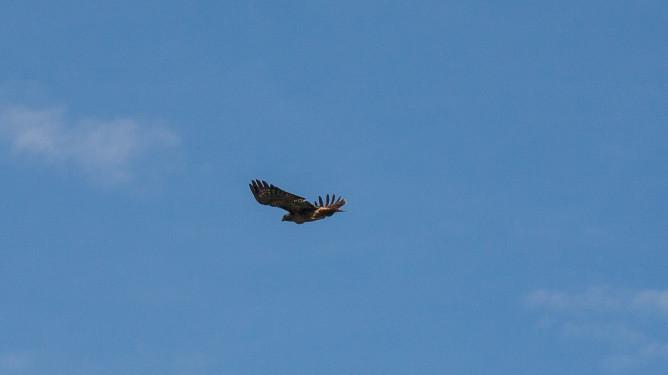 Eagle-1561