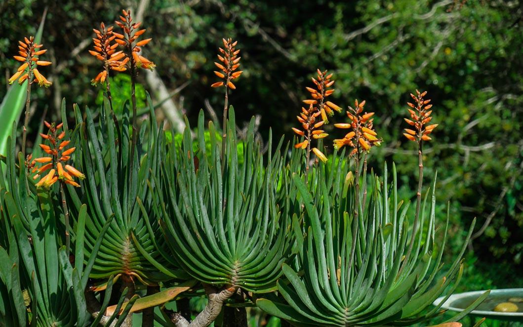 Aloe plicata. -00290