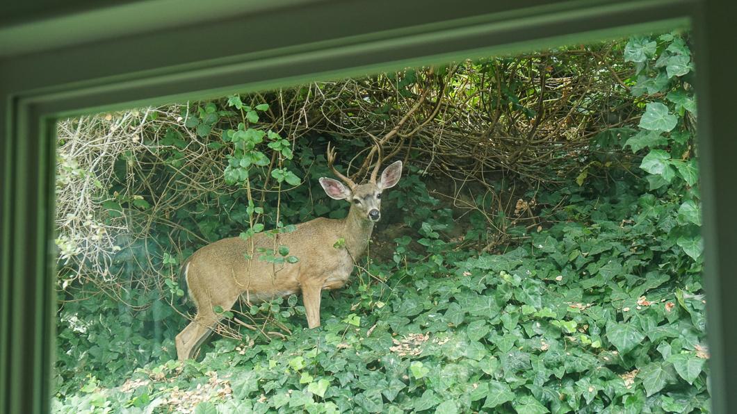 Deer-02368